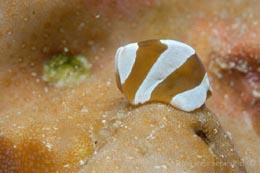 FMI-163 flatworm, Cycloporus sp.